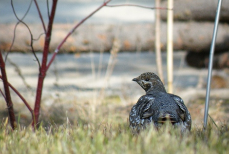 Spruce Grouse - Photo By Beakingoff