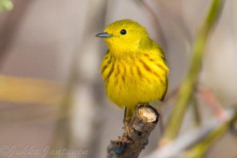 Yellow Warbler - Photo By Jukka Jantunen