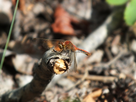 Our Starred Dragonfly of the Day: a young Cherry-faced Meadowhawk.