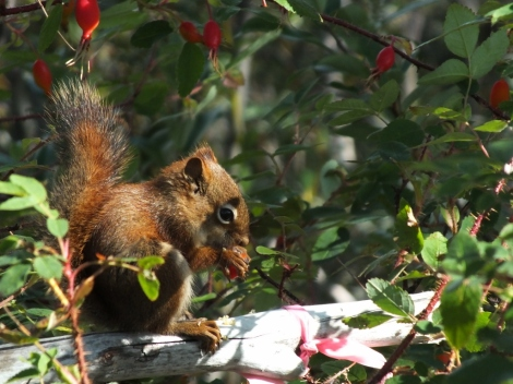 Red Squirrel Feeding on Rosehips