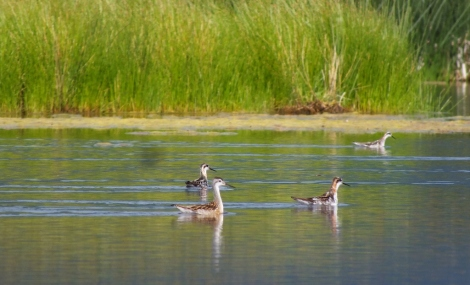 Wilson's Phalarope (front left) with Red-necked Phalaropes