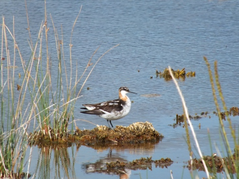 Molting Red-necked Phalarope
