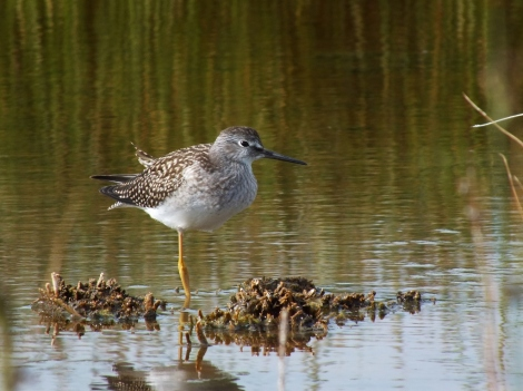 Lesser Yellowlegs with a Missing Leg.