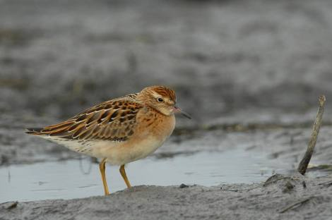 Sharp-tailed Sandpiper (The Bright One!). Photo By Cameron Eckert.