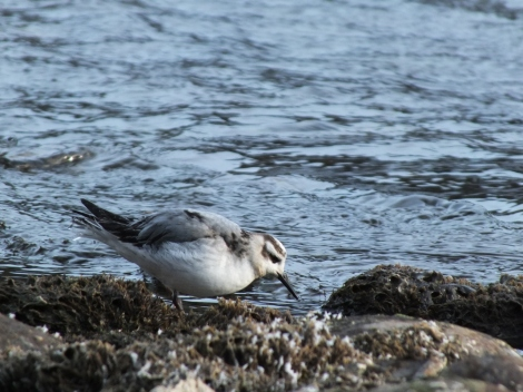 Juv. Red Phalarope