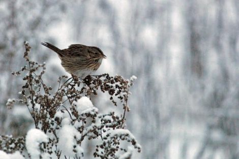 Lincoln's Sparrow. Photo By Cameron Eckert