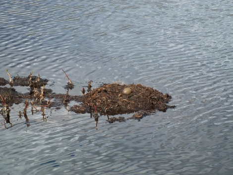 Red-throated Loon Nest
