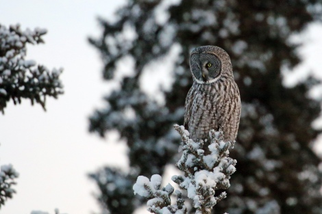 Great Gray Owl. Photo by Cameron Eckert.